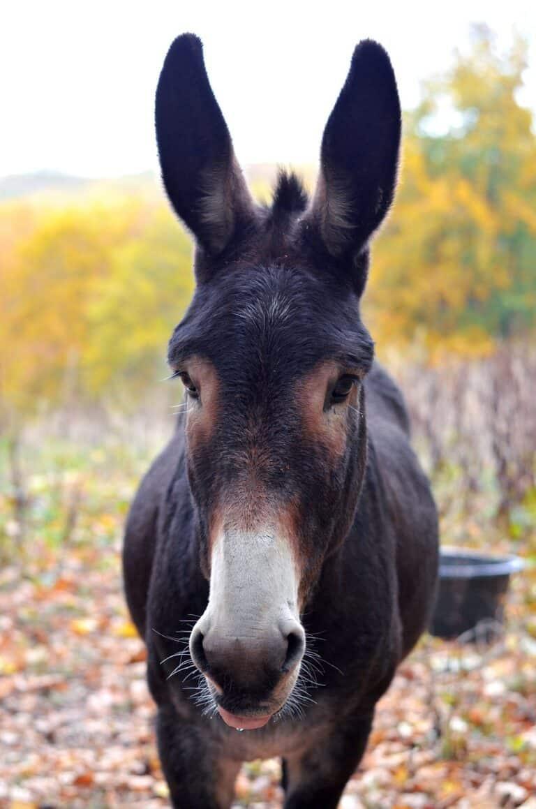 Krafttier Esel
