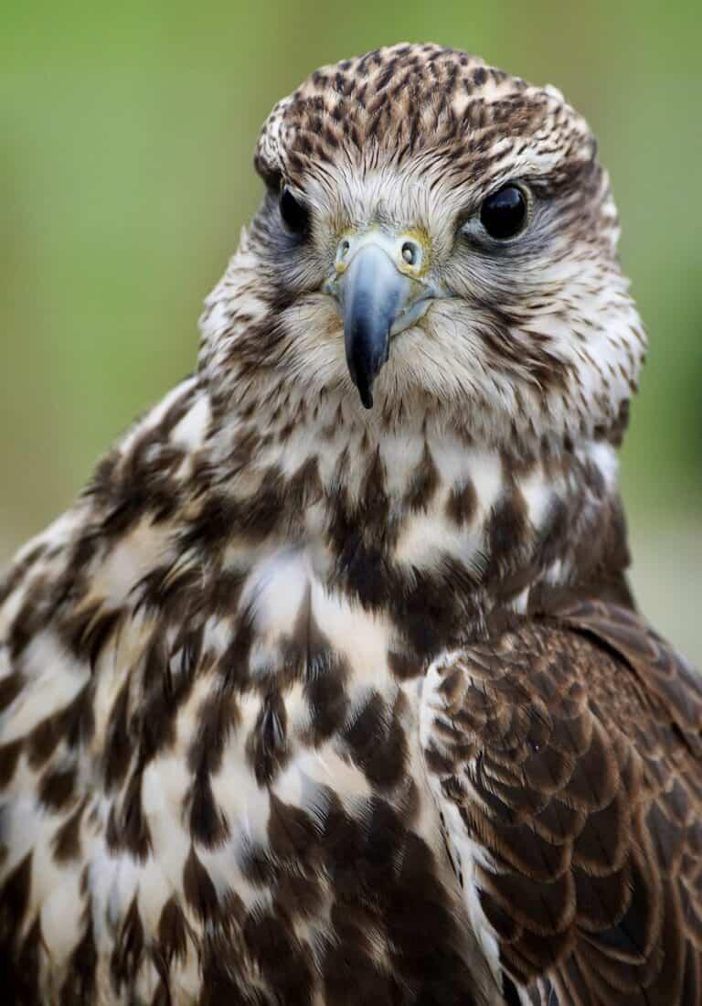 Krafttier Falke
