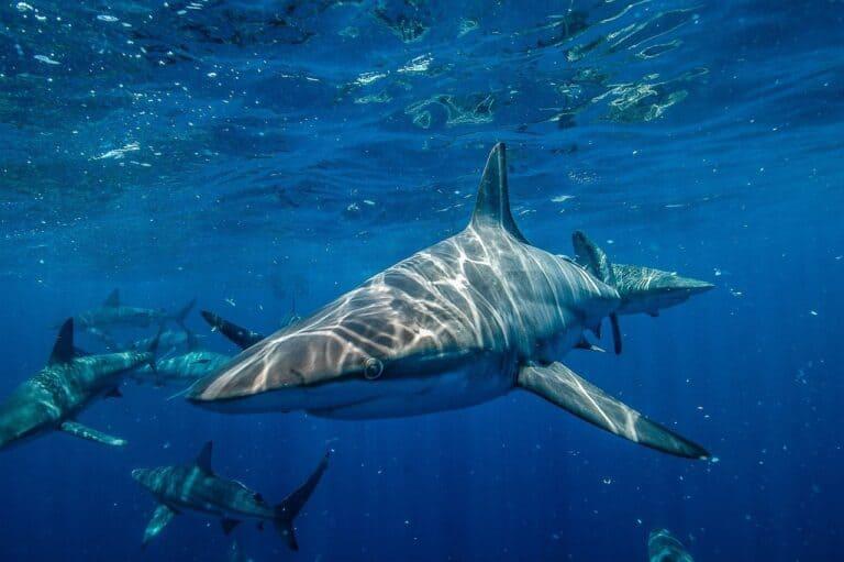 Krafttier Hai